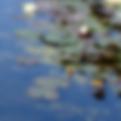 Waterlillies2