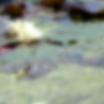 Waterlillies3