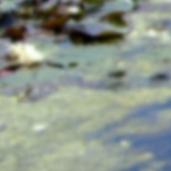 Waterlillies4